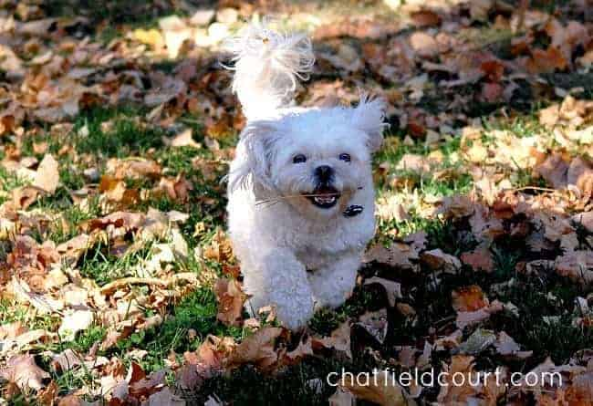 white dog running in the leaves