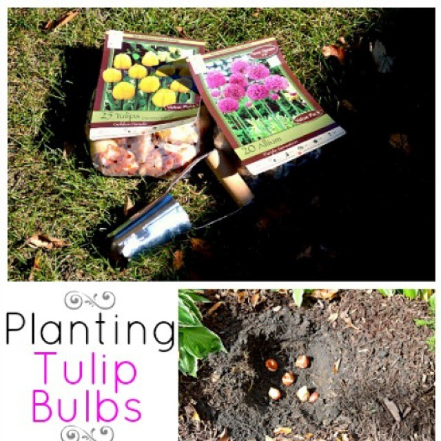 I'm planting tulip and Allium v bulbs and I'll show you what we did did to  stop the critters from digging them up. #linkinprofile #chatfieldcourt #fall #gardening #garden