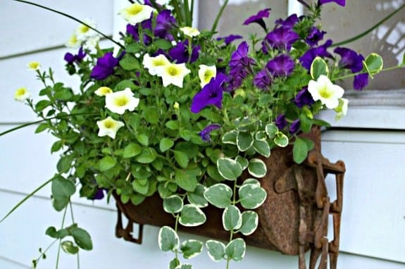 petunias and ivy in a rusty old window box