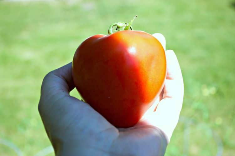 Fresh garden tomatoes. | chatfieldcourt.com