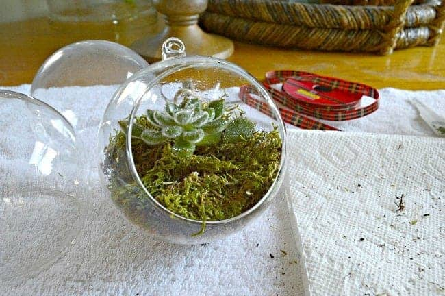 Christmas ornaments succulent and moss in glass ball | chatfieldcourt.com