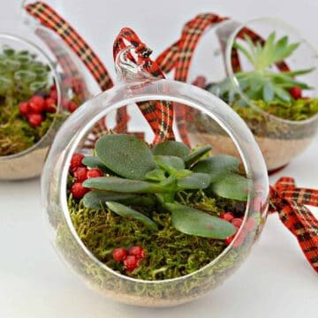 live succulent Christmas ornament with red ribbon