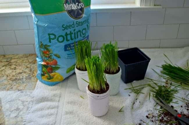 A quick and easy DIY craft making spring mason jars using chalk paints and wheat grass. | chatfieldcourt.com