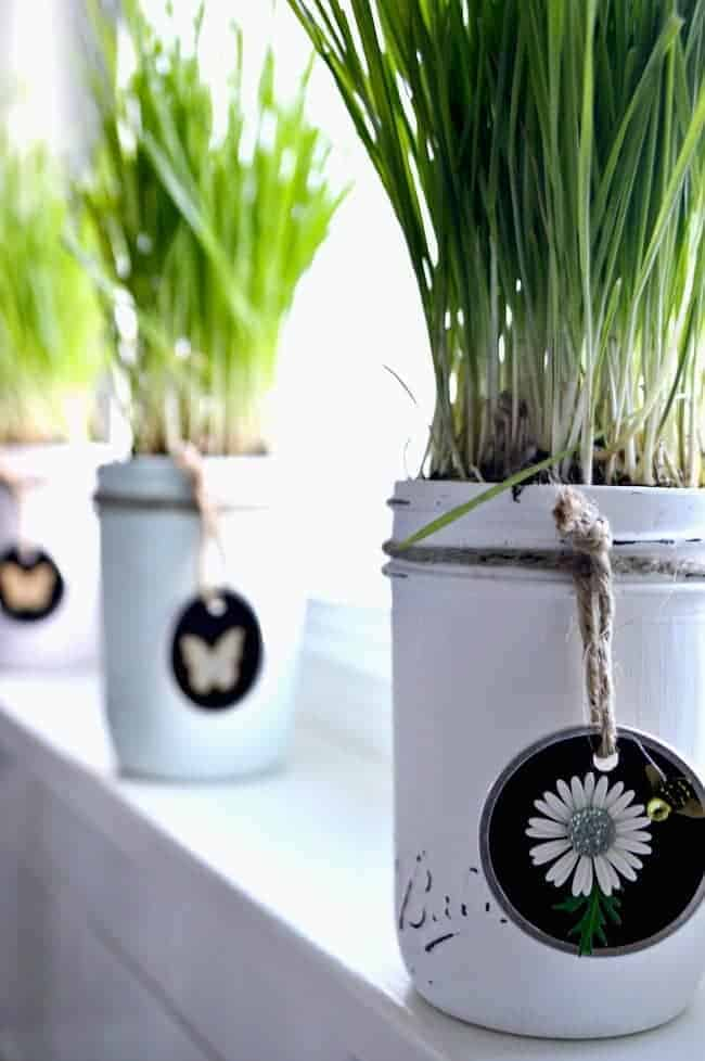 A green painted mason jar with wheatgrass planted in it and DIY tag tied around it, with 2 more mason jars in the distance