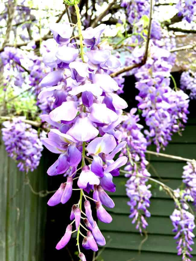 Springtime and wisteria in North Carolina. | chatfieldcourt.com