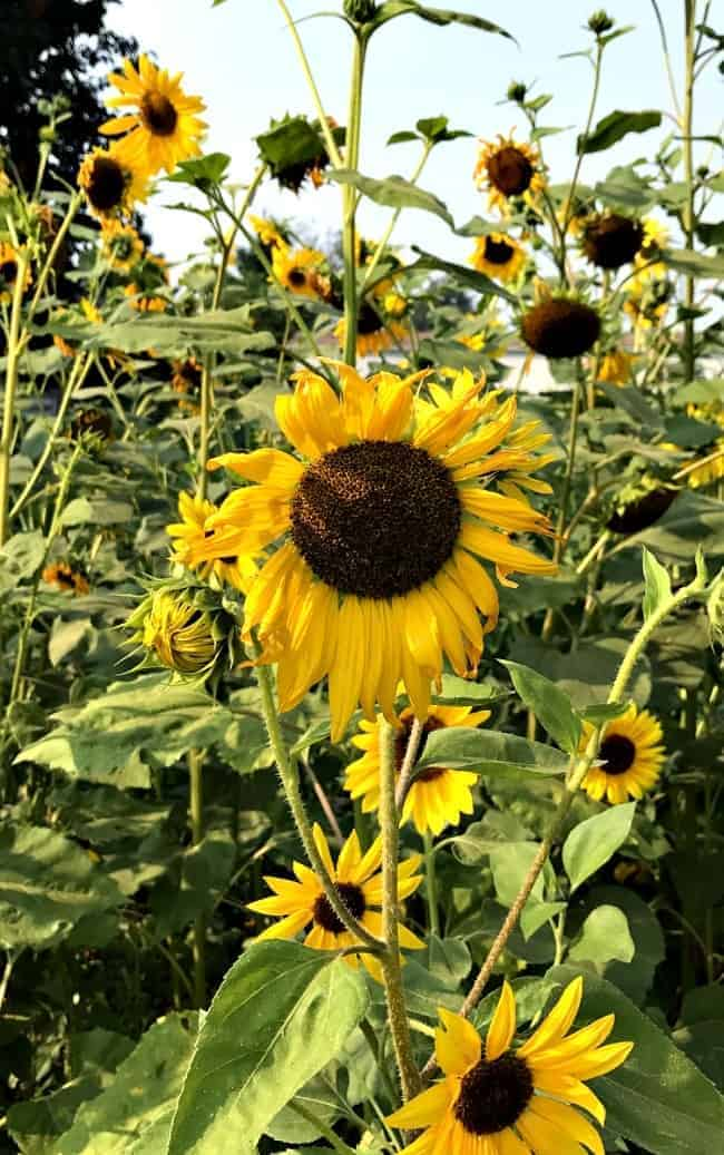 Pretty sunflowers in a field in Canada for Cottage Musings for August.