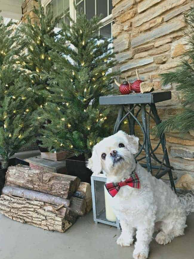 white dog sitting on front porch with faux Christmas trees