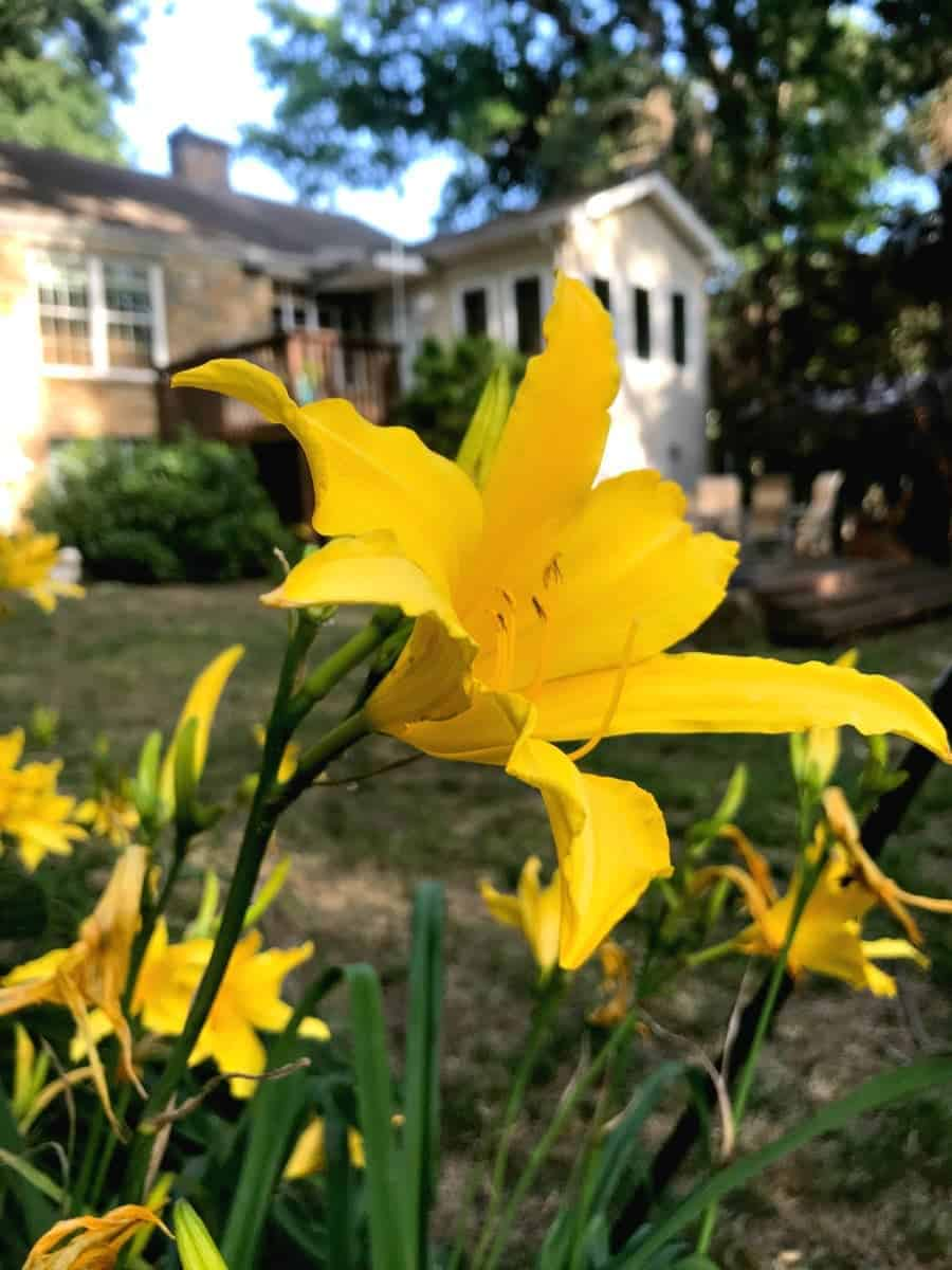 daylily with stone cottage in background
