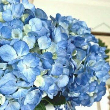 A vase of blue hydrangeas