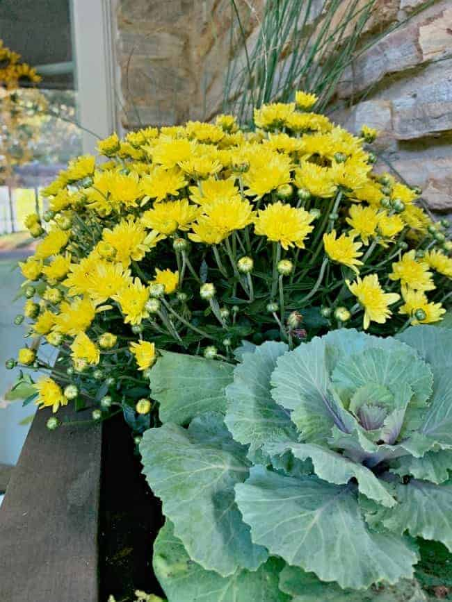 yellow mum and decorative kale in planter