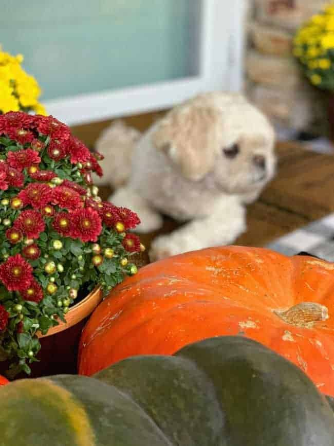 burgundy mum and pumpkins with white dog in background