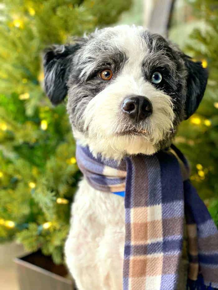dog with blue and tan scarf on in front of Christmas trees