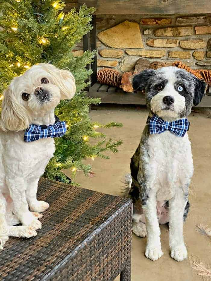 two dogs sitting on a porch with blue bowties