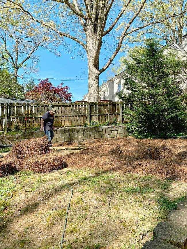 man spreading pinestraw in yard