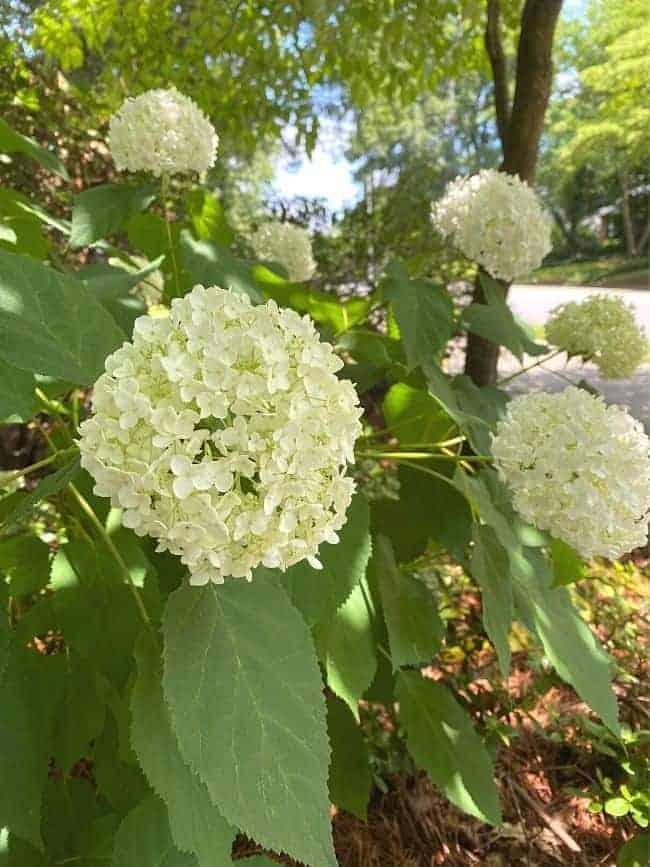 lime hydrangea bush
