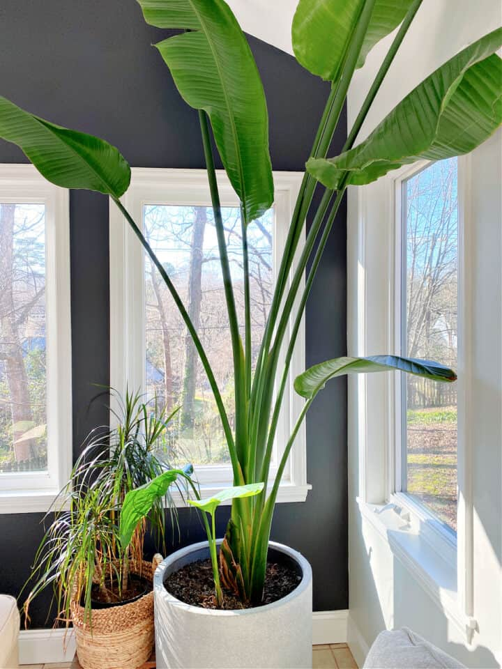 potted bird of paradise in corner of room