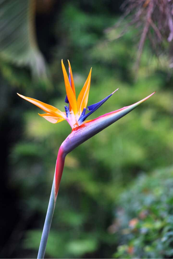 blooming bird of paradise flower