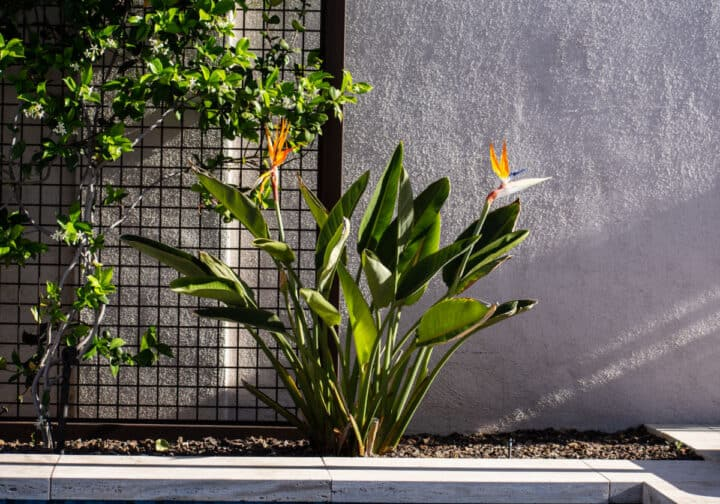 blooming bird of paradise plant
