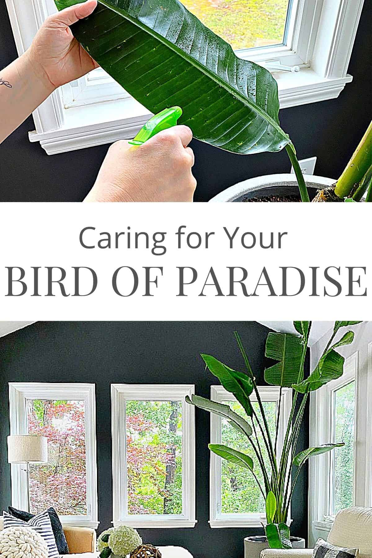 Bird of Paradise Plant in a sunroom