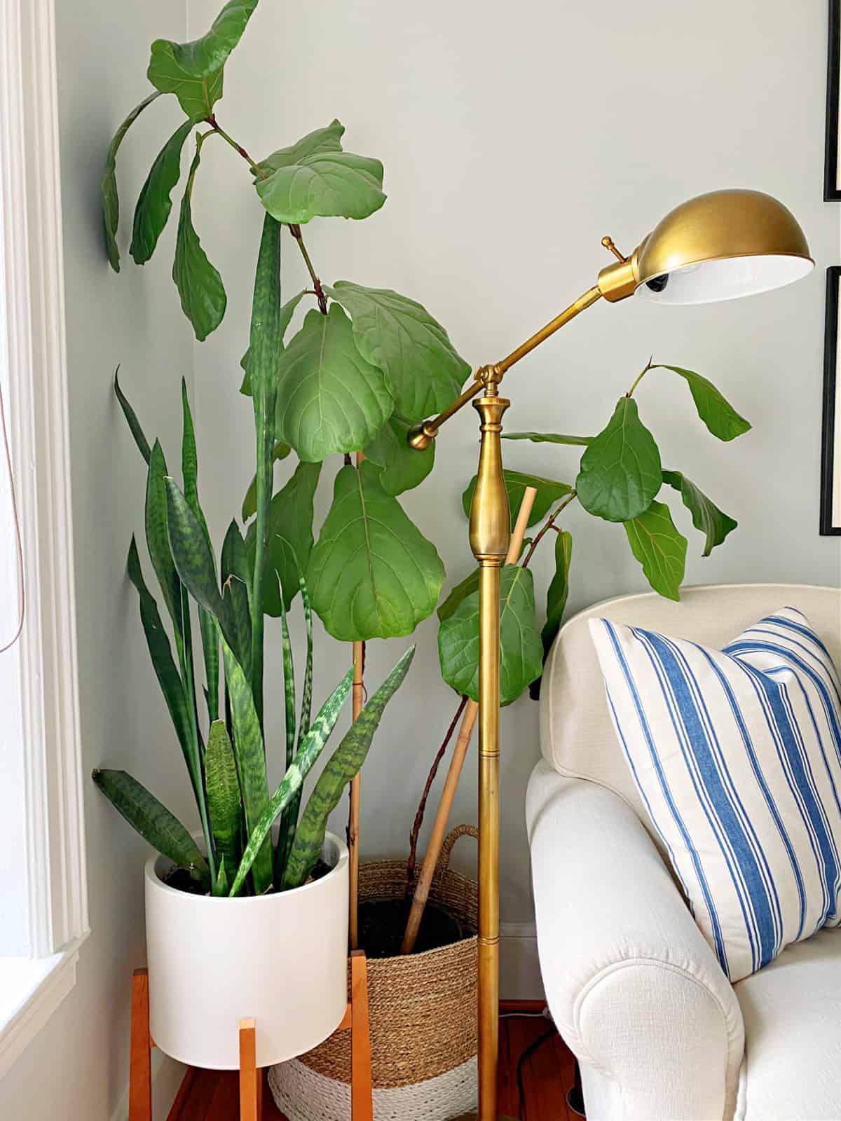 fiddle leaf  fig and snake plant in corner of living room