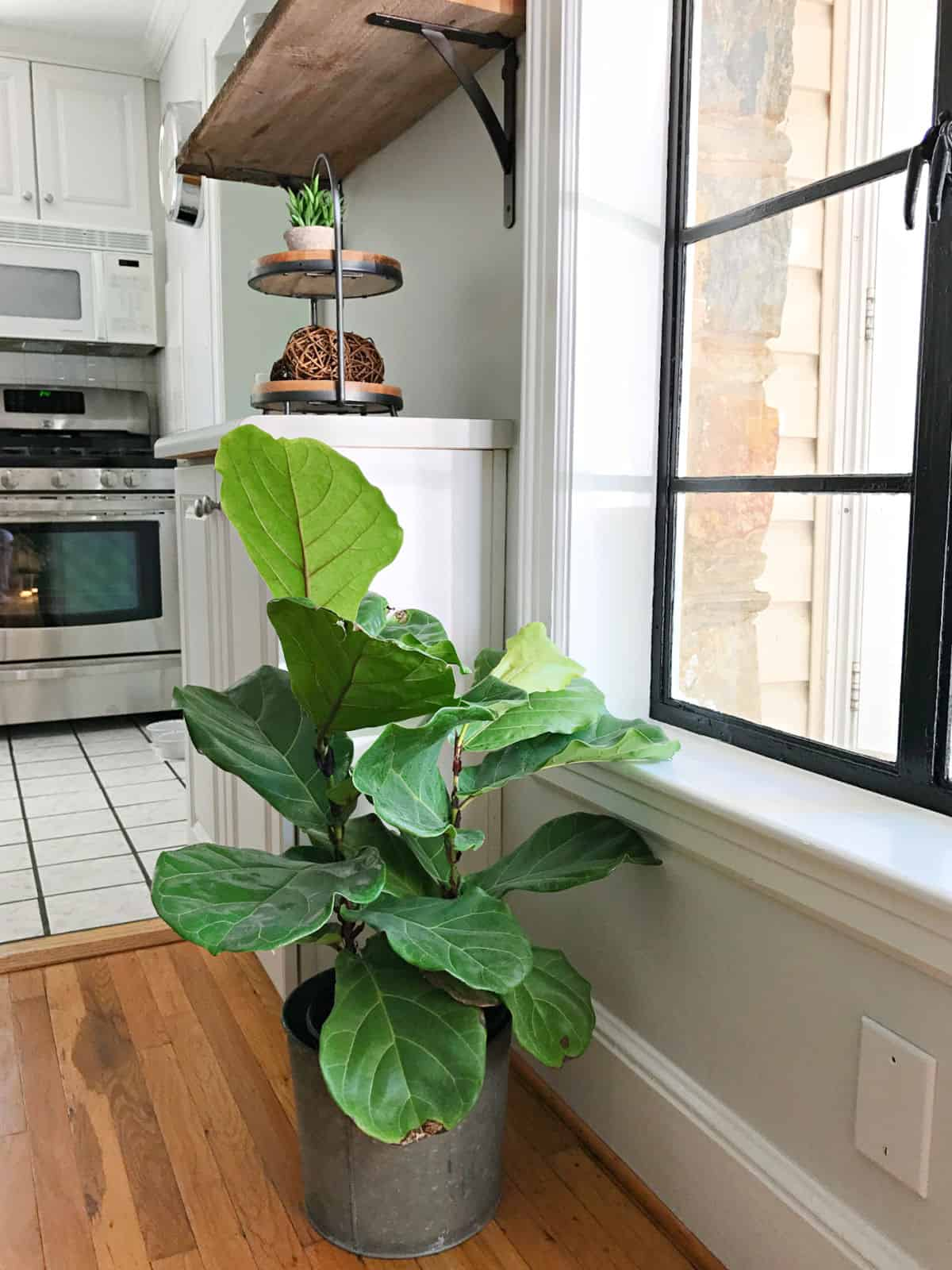 small fiddle leaf fig plant in kitchen