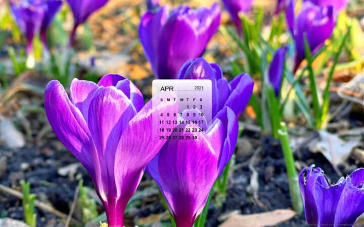 April calendar over a picture of purple crocus