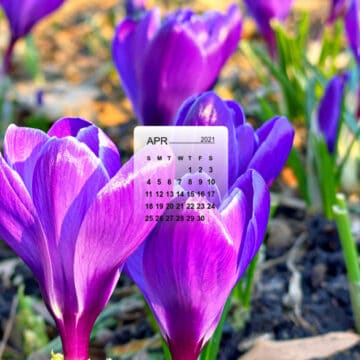 April calendar over a picture of purple crocus