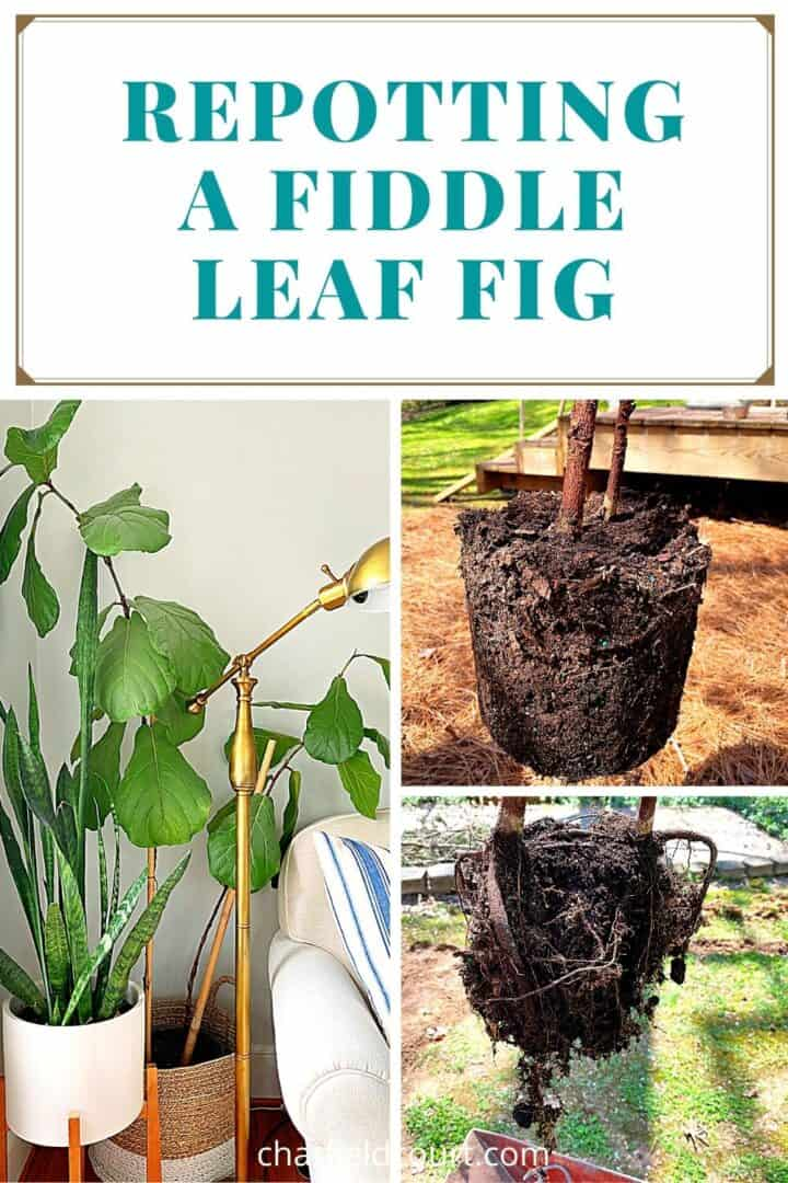 collage of process of repotting fiddle leaf fig plant, and a large graphic