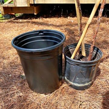 new plant pot and current fiddle leaf fig plant pot