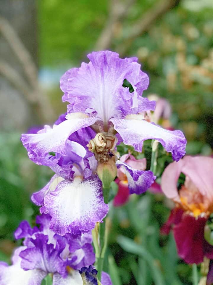 closeup of purple iris