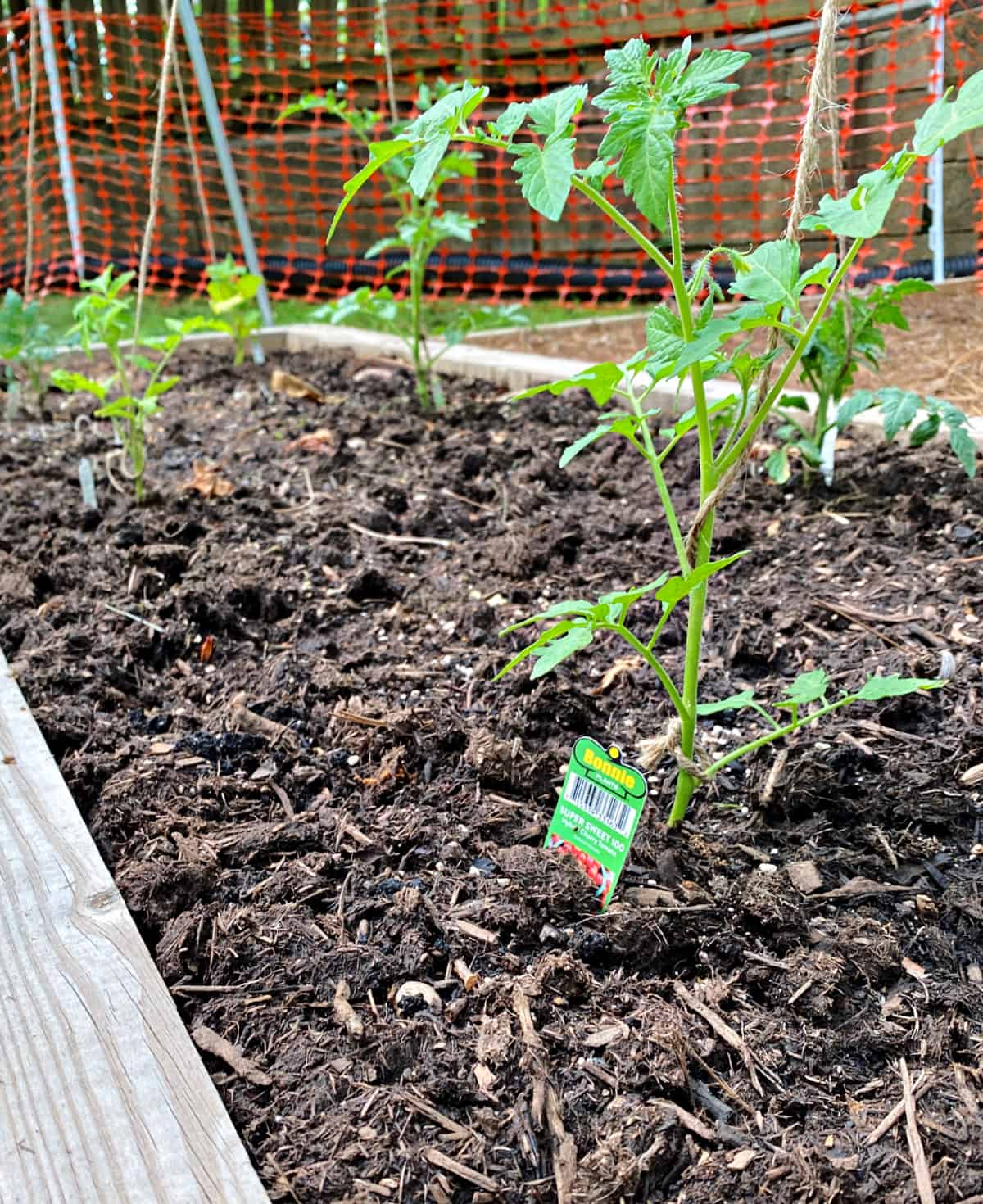small tomato plant growing up garden twine