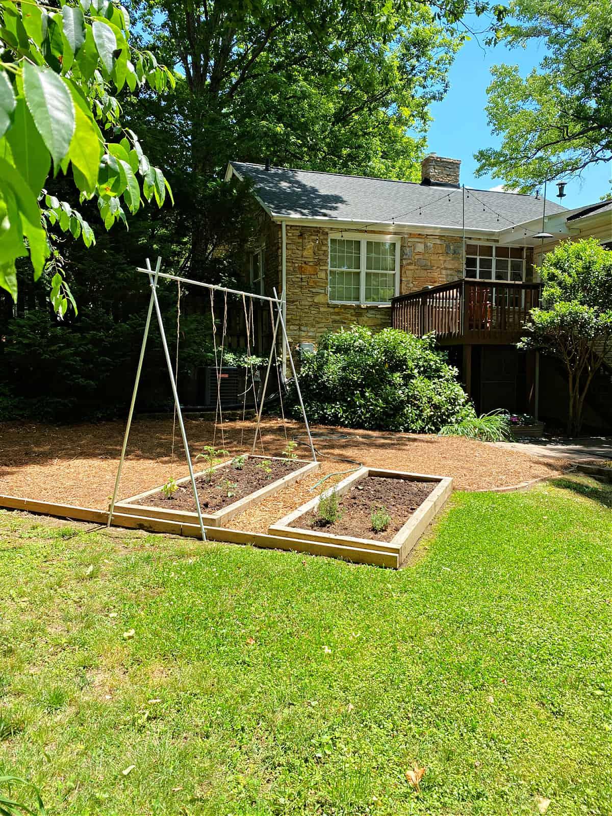DIY tomato trellis set up in garden