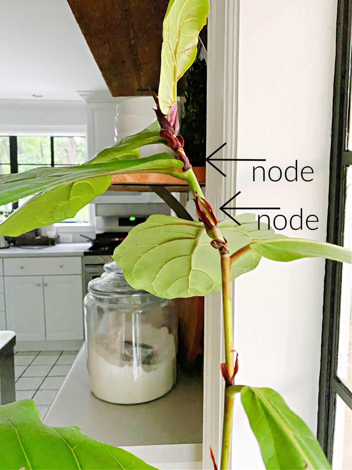 nodes on a fiddle leaf fig plant