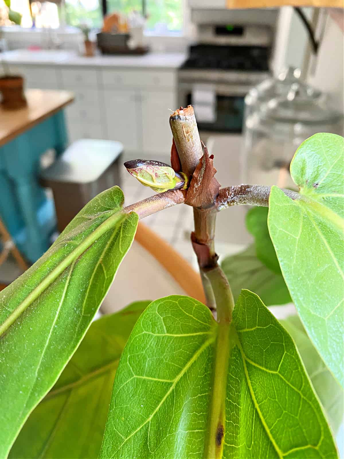 new branch growing on fiddle leaf fig