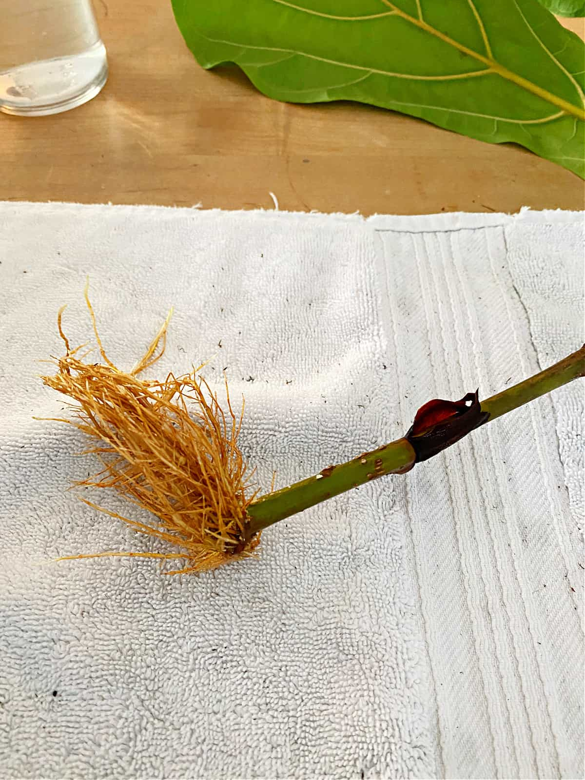 roots of propagated fiddle leaf fig stem