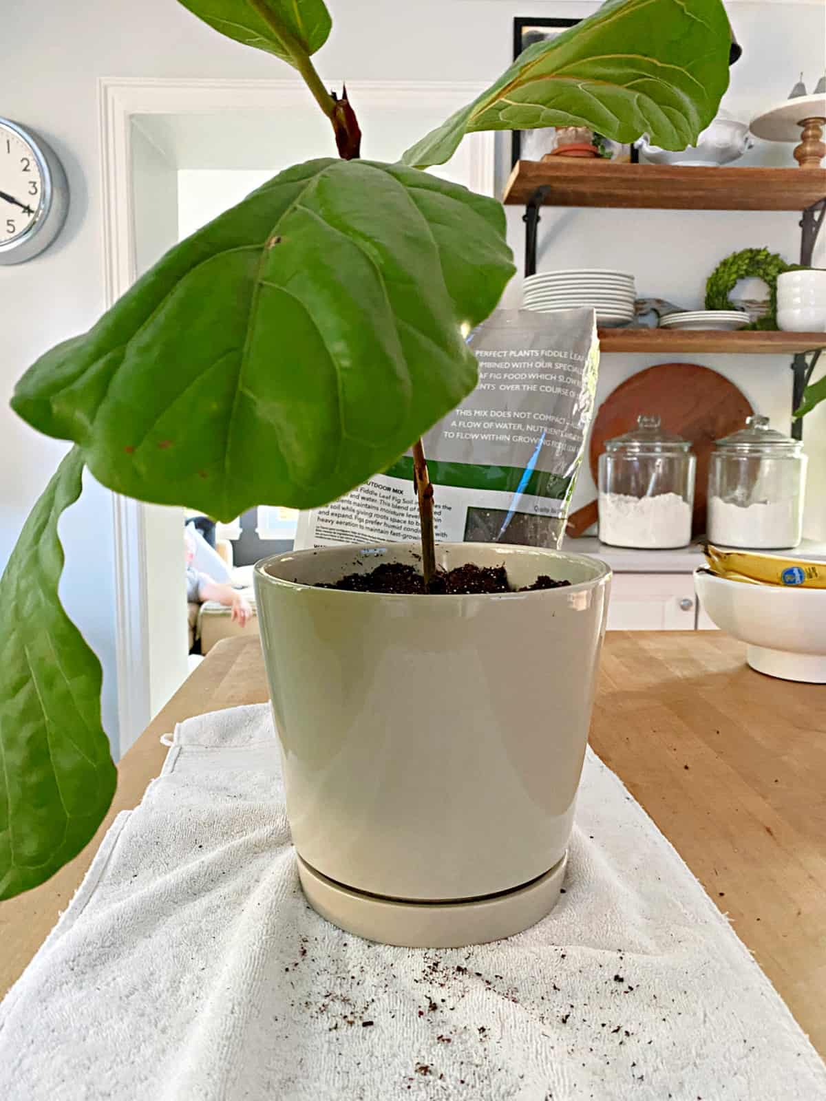 pottered propagated fiddle leaf fig stem