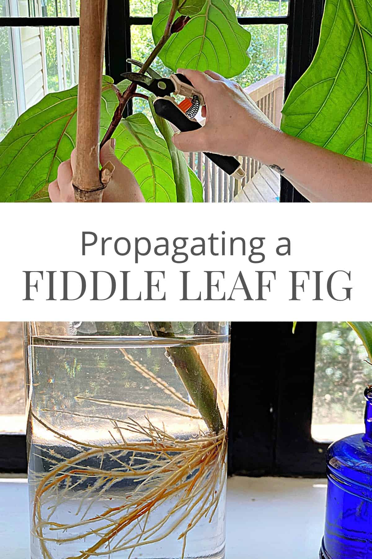 cutting a fiddle leaf fig for propagation and roots on ficus stem
