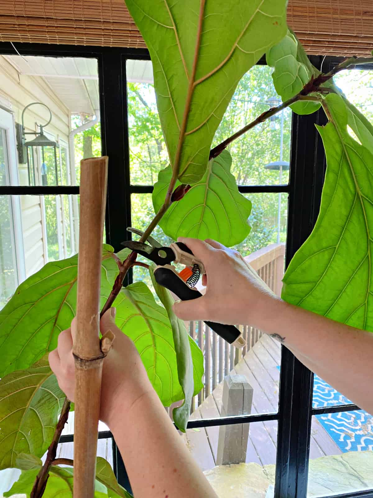 using clippers to trim fiddle leaf fig