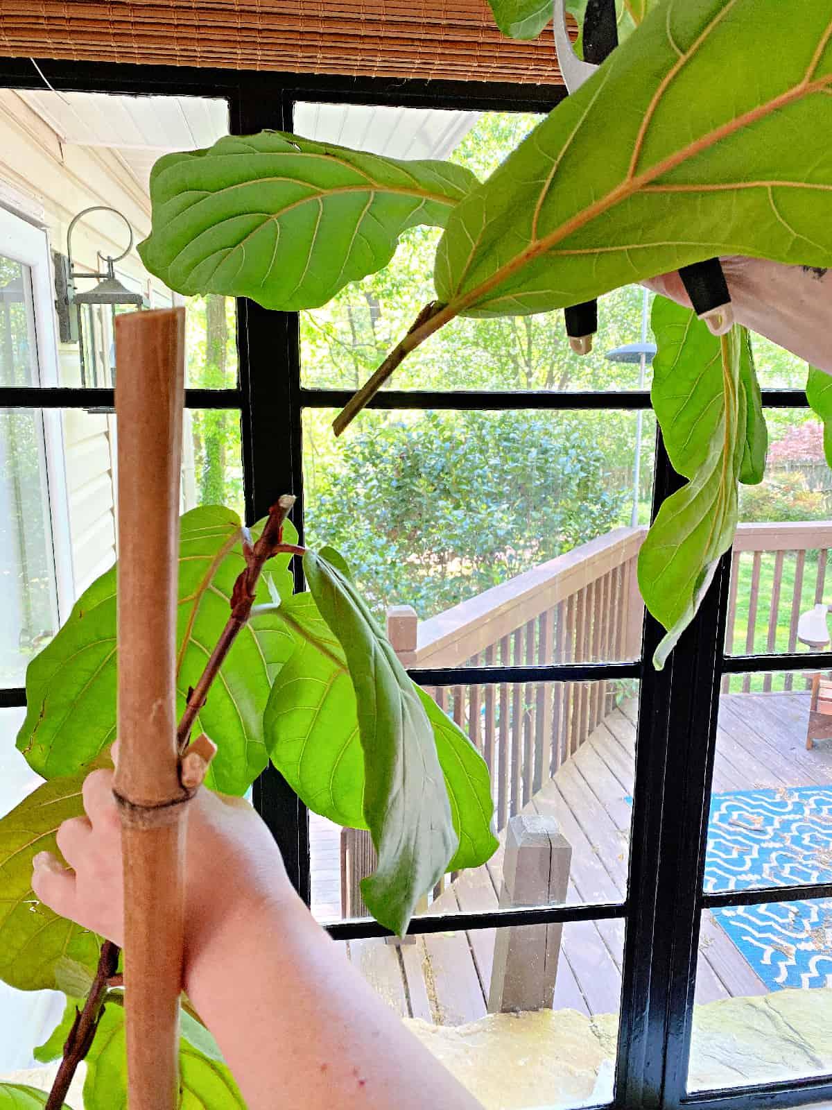 cut fiddle leaf fig stem